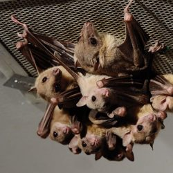Prof. Cindy Moss Talks to the JHU Gazette About How She Finds Bats for her Lab