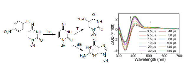The Greenberg lab publishes in JACS on radical mediated DNA damage.