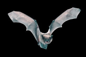 Bat Biology Could Lead to Better Aircraft