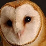 Owls Provide Clues on How Humans Might Direct Attention