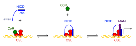 NMR spectroscopy, analytical ultracentrifugation, ITC, cell-culture transcription and ubiquitination assays, and single-molecule spectroscopy to learn how the many conformational transitions, including disorder-order transitions and bivalent binding, lead to a precisely controlled signal response